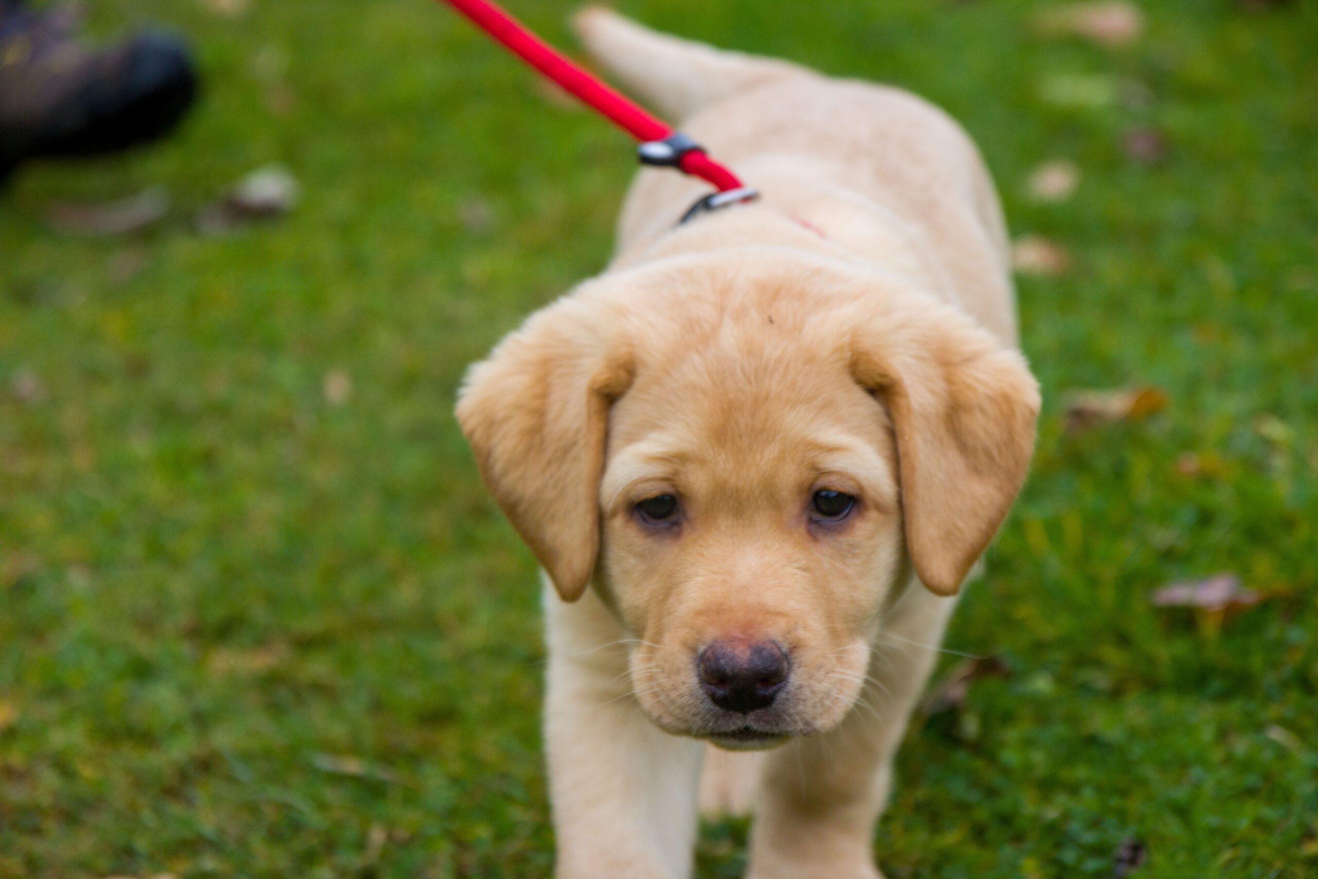 Hotelhund Luna Welpe Labrador Retriever