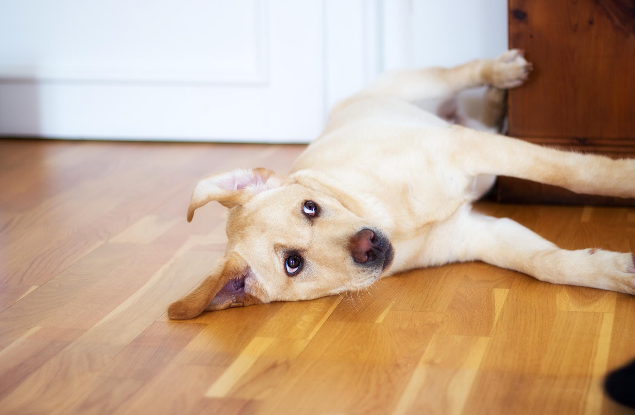 Hotelhund Luna Labrador Retriever Bürohund Bürotag